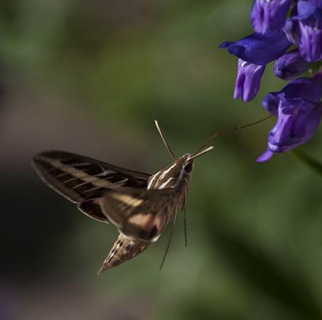 hummingbird moth12