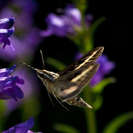 hummingbird moth22