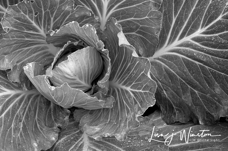 08b cabbage