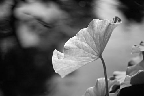10b Lotus Leaf Water Spirit