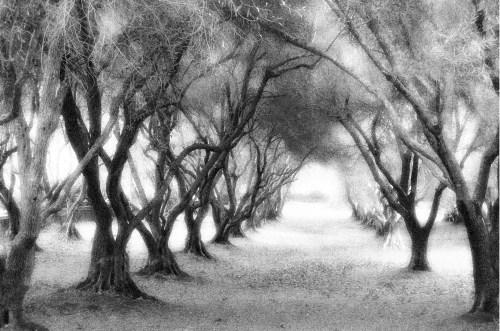 3a Filoli Trees Aglow